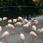 Flamingos - Sunken Gardens