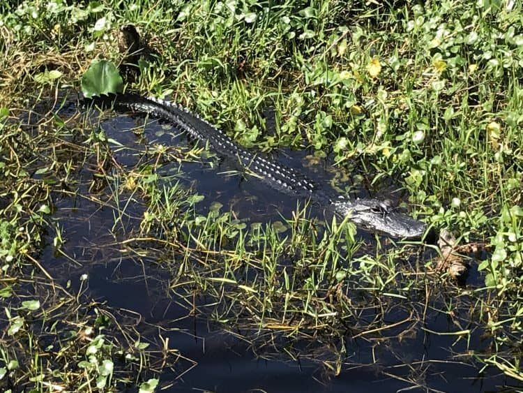 Gator in the marsh Blue Spring State Park
