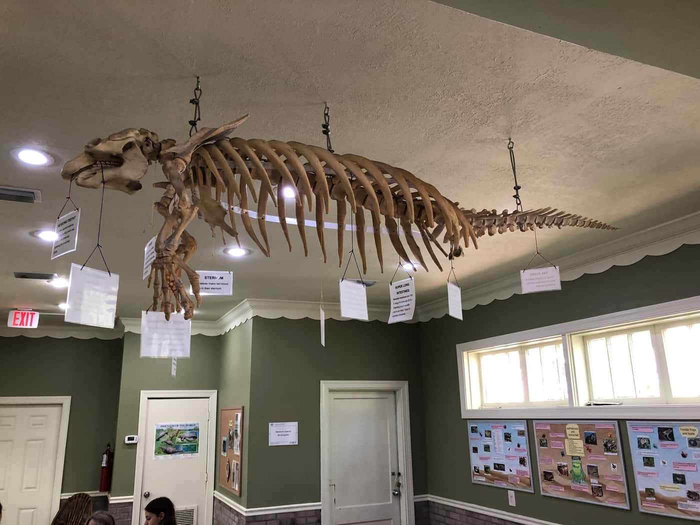 Manatee skeleton at Discovery Center Homosassa Springs
