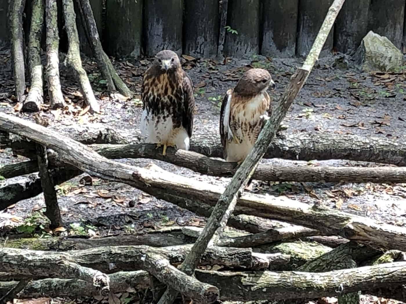 Ospreys Homosassa Springs