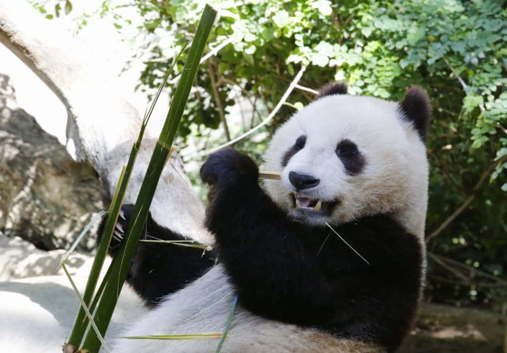 Panda at San Diego Zoo, 2015